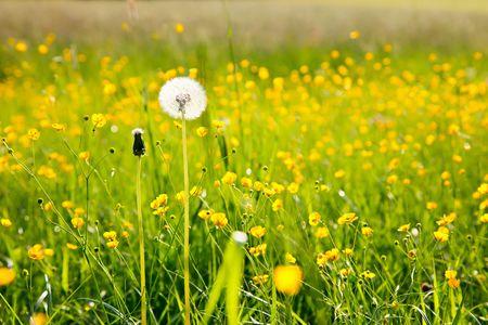 White dandelion parachute ball photo