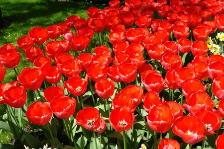 Red tulips Stock Photo - 6503445