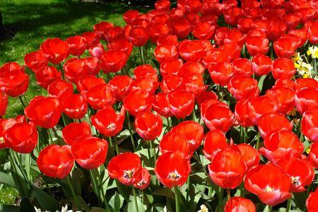 Red tulips Stock Photo - 6503445