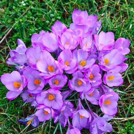Close up of crocus flowers Stock Photo - 6503507