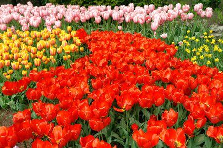 Multicolored tulips photo