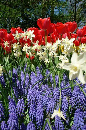 hyacints narcissus: Spring flower bed