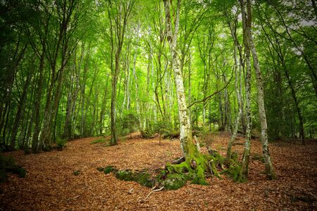 Mountain forest in Pyrenees, France photo
