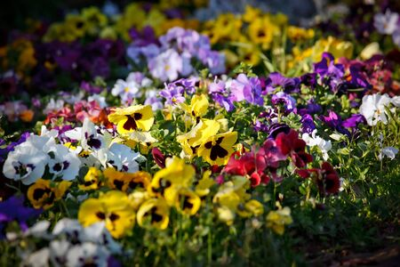 Multicolored violet flowers photo