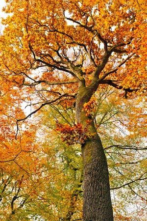 Colorful autumnal oak tree photo