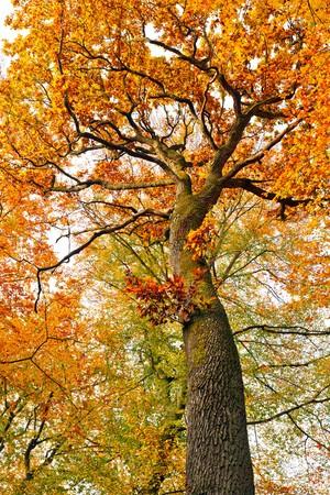 Colorful autumnal oak tree