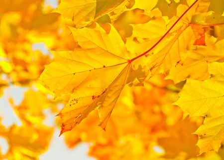 Yellow autumn maple leaves in sunlight photo