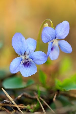 Close-up of wild blue flower photo