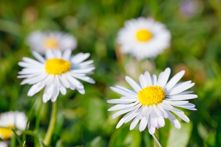 Close-up of daisy flowers photo