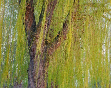 Blooming weeping willow tree photo