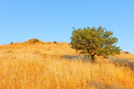 Single olive tree in meadow Stock Photo - 8944572