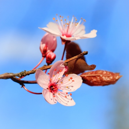 Close up of blooming cherry photo