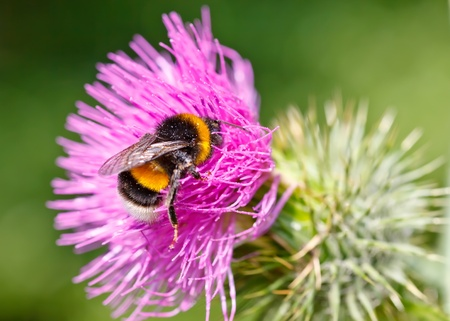 Bumble bee collecting pollen on pink flower photo