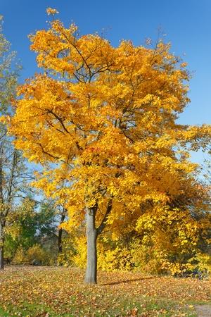 Colorful autumn maple tree Stock Photo - 10059370