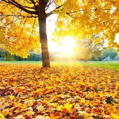 colorful maple trees: Colorful autumn