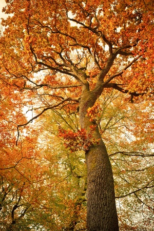 Autumn oak tree in the forest photo