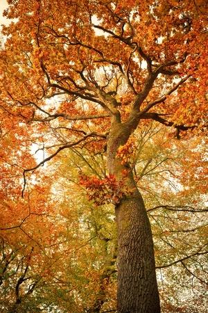 oak leaves: Autumn oak tree in the forest