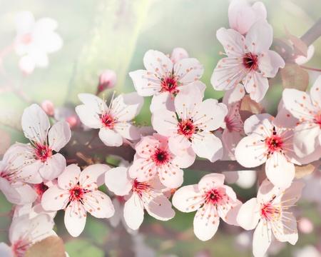 sakura flowers: Close up of blooming cherry Stock Photo