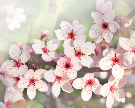 arbol de cerezo: Primer plano de flor de cerezo Foto de archivo