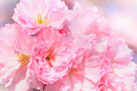 Close up of blooming sakura Stock Photo - 12440768