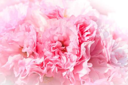 Close up of blooming sakura Stock Photo - 12440762