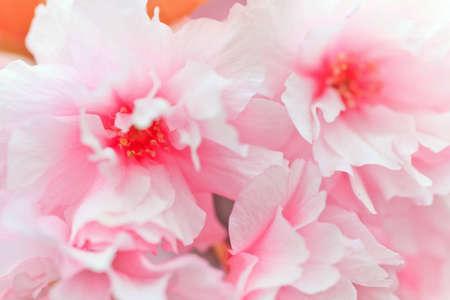 Close up of blooming sakura Stock Photo - 12787277