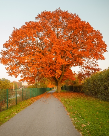 Red autumn oak tree