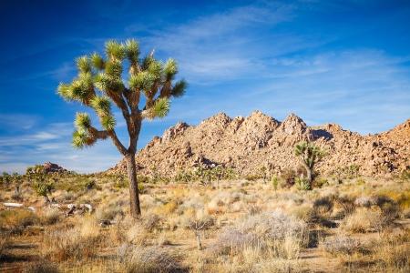 joshua: Joshua Tree National Park, Mojave Desert, California