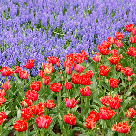 Tulips and bluebells in the spring garden photo