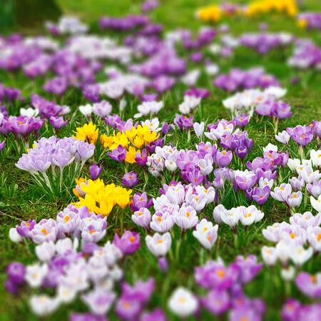 primrose: Wild crocus flowers  tilt and shift