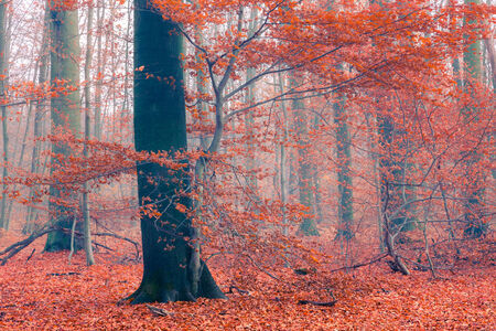 colorful tree: Colorful tree in the autumn forest