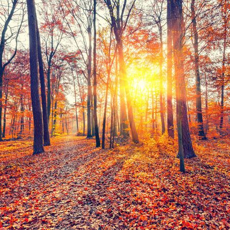 autumn colors: Vibrant sunset in the autumn forest