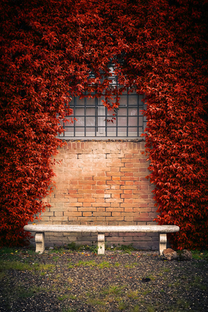 ivy wall: Stone bench and autumn ivy foliage on the old wall