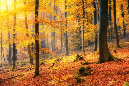 foggy: Colorful and foggy autumn forest