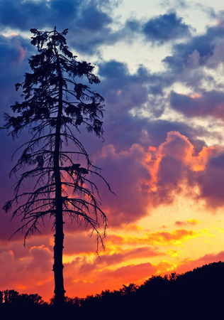 cumulus: Old pine tree over bright sunset sky