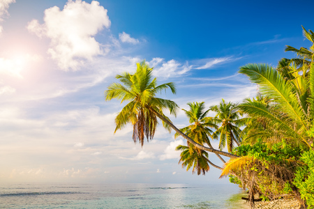 Beautiful palm trees on maldivian beach Banque d'images