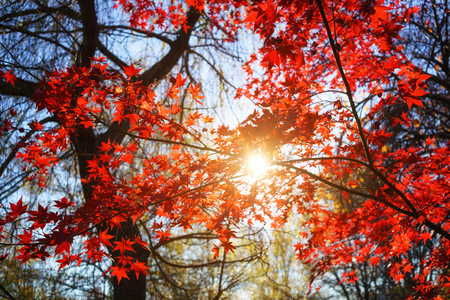 Sunny autumn red maple tree foliage