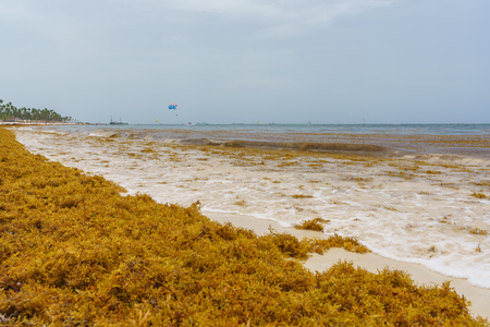 sargassum seaweeds on ocean beach in Bavaro, Punta Cana. Due to global warming, the altered ocean current bring sargasso to Dominican Republic coast. Stock Photo