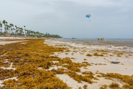 Punta Cana, Dominican Republic - June 24, 2018: : sargassum seaweeds on ocean beach in Bavaro, Punta Cana. Due to global warming, the altered ocean current bring sargasso to Dominican Republic coast. Editorial