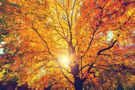 Árbol de arce dorado de otoño soleado Foto de archivo