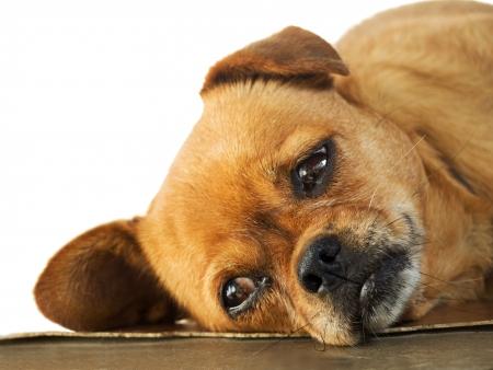 Sleepy Doggy is lying on the floor, Stock Photo