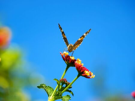 Front view of the butterfly while collecting nectar from flowers in the spring morning. Stock Photo - 5017035