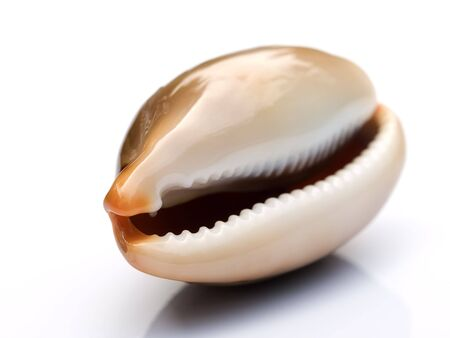 Macro of shiny, like porcelain, sea snail  on a bright background. Shallow depth of field. Stock Photo - 5162058