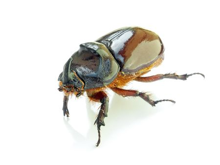 Stag beetle with a shadow on a white background. photo