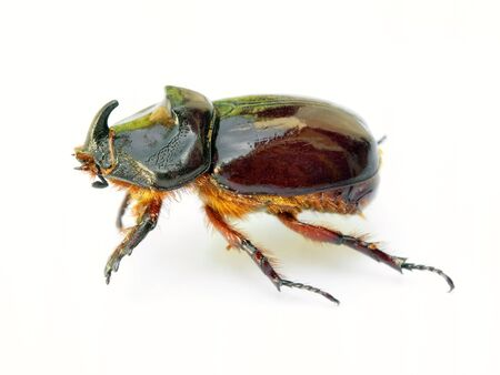 Scarab beetle isolated on a white background. Stock Photo - 5277614