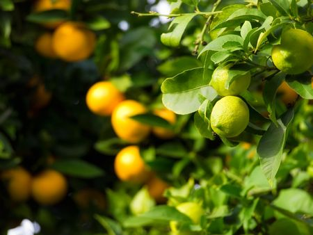 Citrus fruit like a green lemon or ripe orange stil on tree... Stock Photo - 6031016