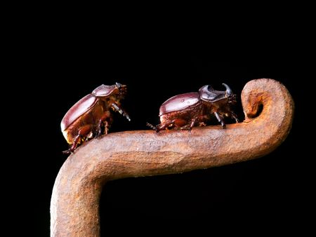 Closeup view of two horn beetles during climbing on a rusty metal fence. photo