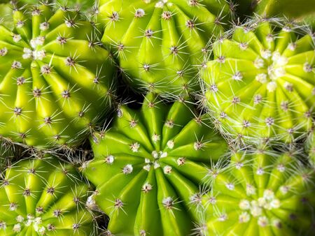 Close-up on a lot of cacti,, usable for backgrounds. Stock Photo - 6790156