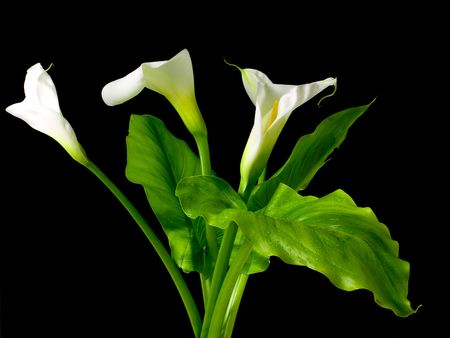 Bouquet of Calla flowers  isolated on a  black background. photo