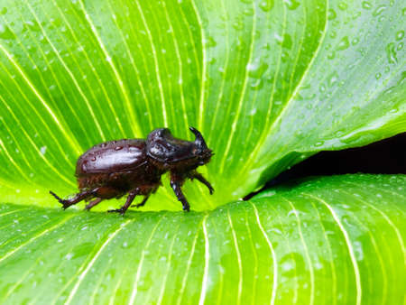 oryctes: Rhino or scarab male beetle on a large leaf somewhere in the nature. Stock Photo